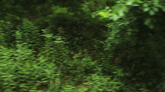 Green trees in forest, driving POV
