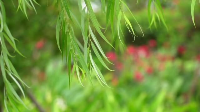 green tropical leaves in garden - tropical tree stock videos & royalty-free footage