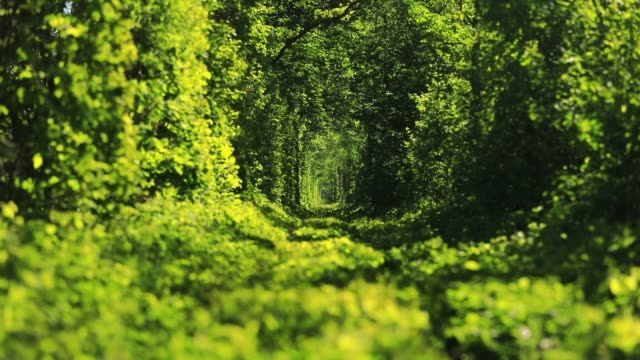 Green tunnel of trees in the forest. Tunnel of love. Klevan, Ukraine.