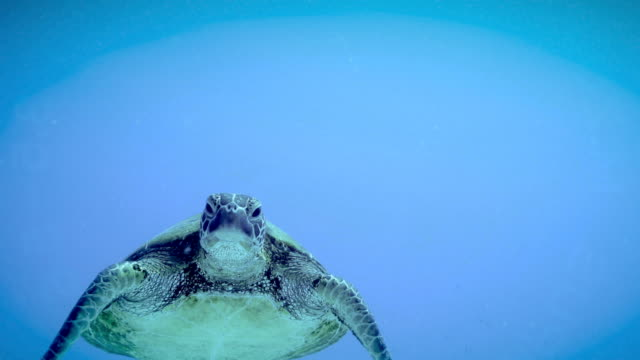 green turtle, australia - chelonioidea stock-videos und b-roll-filmmaterial