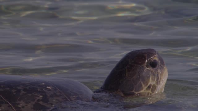 green turtle (chelonia mydas) breathes at surface of sea, raine island, australia - inhaling stock videos & royalty-free footage