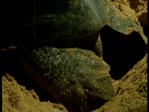 green turtle buries eggs in sand, ascension island - sea turtle stock videos & royalty-free footage
