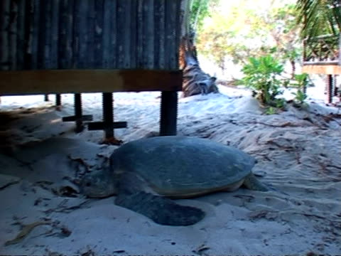 ms green turtle crawling near beach hut, sangalaki, indonesia - green turtle stock videos and b-roll footage