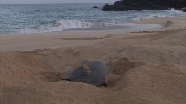green turtle (chelonia mydas) digs nest on sandy beach, ascension island - chelonioidea stock-videos und b-roll-filmmaterial
