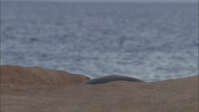 green turtle (chelonia mydas) digs nest on sandy beach, ascension island - digging stock videos and b-roll footage