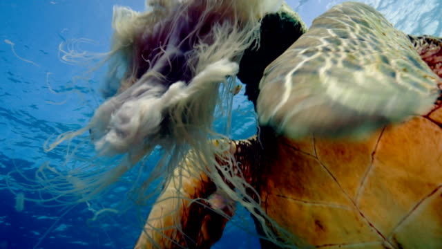 stockvideo's en b-roll-footage met green turtle eating jellyfish - schildpad