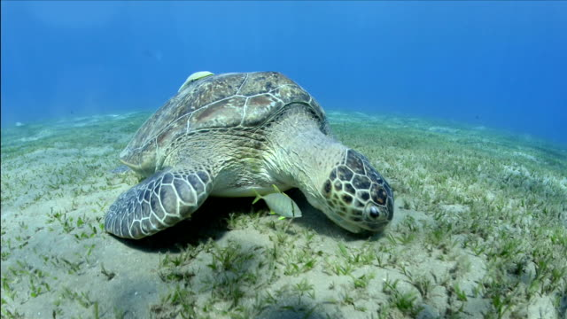 Green turtle feeding with a juvenile jack fish