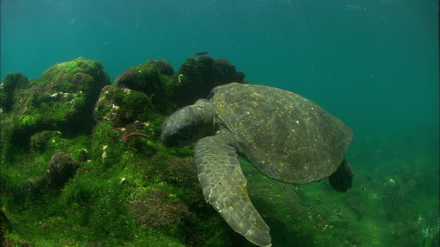green turtle feeds on algae covered rocks whilst rainbow wrasses (thalassoma lucasanum) swim around, galapagos islands available in hd. - green turtle stock videos and b-roll footage