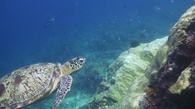 green turtle sich gereinigt - 30 seconds or greater stock-videos und b-roll-filmmaterial