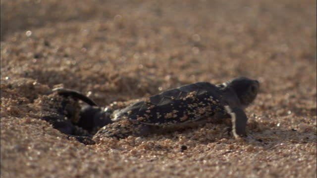 stockvideo's en b-roll-footage met green turtle (chelonia mydas) hatchling emerges and scuttles down beach to sea, ascension island - schildpad