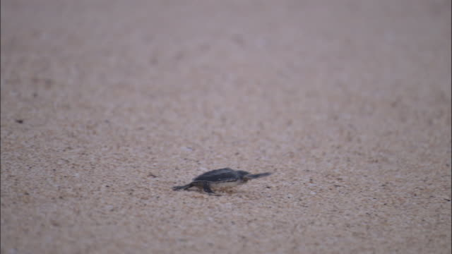 Green turtle (Chelonia mydas) hatchling scuttles down beach and into sea, Ascension Island