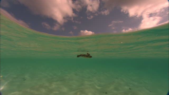 green turtle (chelonia mydas) hatchling swims away in shallows, ascension island - green turtle stock videos and b-roll footage