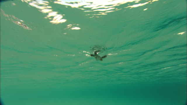 Green turtle (Chelonia mydas) hatchling swims out to sea, Ascension Island
