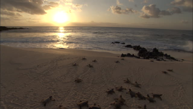 stockvideo's en b-roll-footage met green turtle (chelonia mydas) hatchlings scuttle down beach to sea, ascension island - schildpad