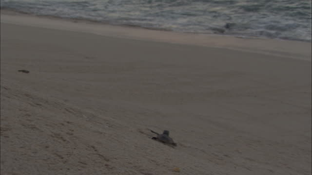 green turtle (chelonia mydas) hatchlings scuttle down beach to sea, ascension island - green turtle stock videos & royalty-free footage