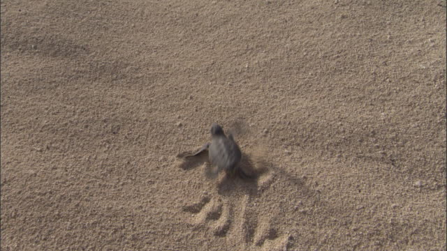 Green turtle (Chelonia mydas) hatchlings scuttle down beach to sea, Ascension Island