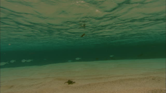 Green turtle (Chelonia mydas) hatchlings struggle to swim in shallows, Ascension Island
