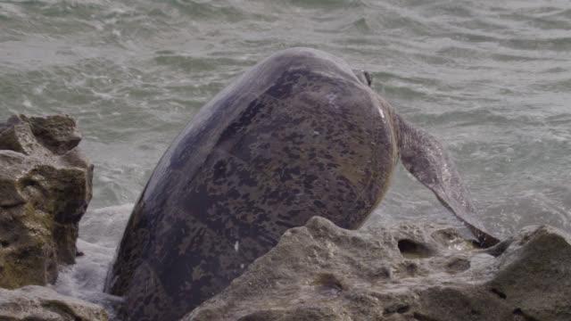 stockvideo's en b-roll-footage met green turtle (chelonia mydas) hauls itself back into sea, raine island, australia - soepschildpad