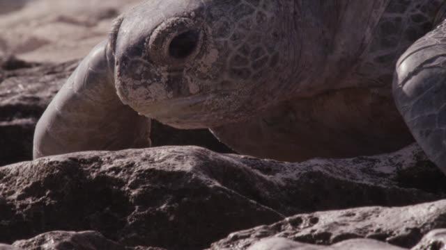 stockvideo's en b-roll-footage met green turtle (chelonia mydas) hauls itself back towards sea, raine island, australia - soepschildpad