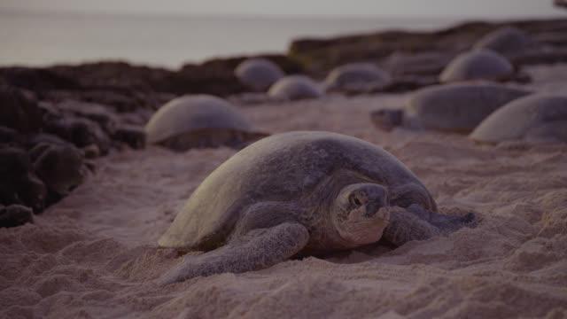 green turtle (chelonia mydas) hauls itself back towards sea, raine island, australia - sea turtle stock videos & royalty-free footage