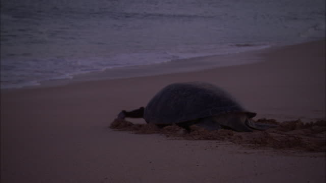 green turtle (chelonia mydas) hauls itself down beach to sea, ascension island - riva dell'acqua video stock e b–roll