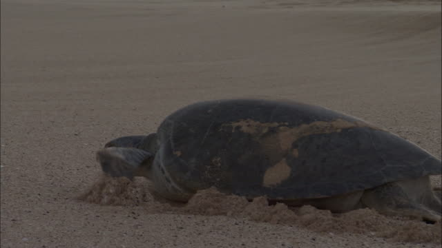 green turtle (chelonia mydas) hauls itself down beach to sea, ascension island - green turtle stock videos & royalty-free footage