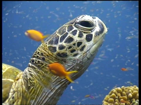 cu green turtle, head in profile, zooms out to ms portrait of green turtle resting on coral reef amongst shoals of glass fish and anthias, sipadan, borneo, malaysia - anthias fish stock videos & royalty-free footage