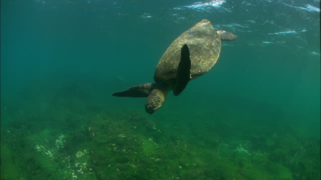 green turtle in water, galapagos islands available in hd. - tortoise stock videos and b-roll footage