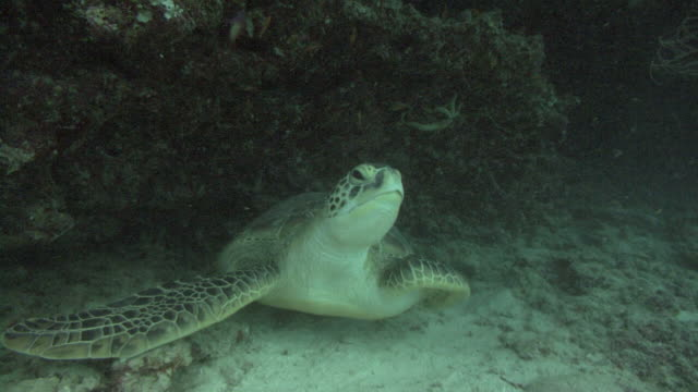 green turtle (Chelonia mydas) leaves cave to blue water, Indian Ocean, Maldives