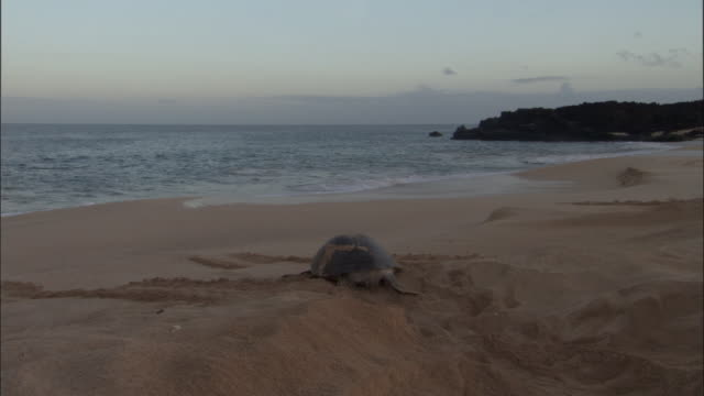green turtle (chelonia mydas) leaves nest on sandy beach, ascension island - green turtle stock videos & royalty-free footage