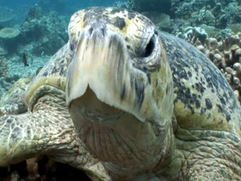 green turtle (chelonia mydas) looking to camera, sipadan, malaysia, borneo - sulking stock videos & royalty-free footage