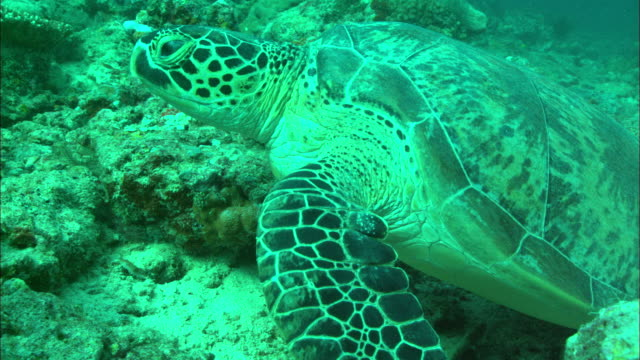 green turtle on reef, borneo, malaysia, southeast asia - animal shell stock videos & royalty-free footage