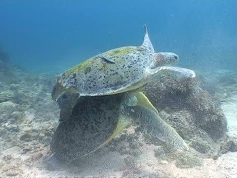 vídeos y material grabado en eventos de stock de ms green turtle pair, male fighting to mate female, sangalaki, indonesia - patrones de colores