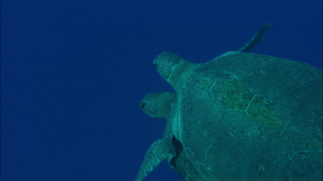 green turtle (chelonia mydas) pair mating, ascension island - sex and reproduction stock videos & royalty-free footage