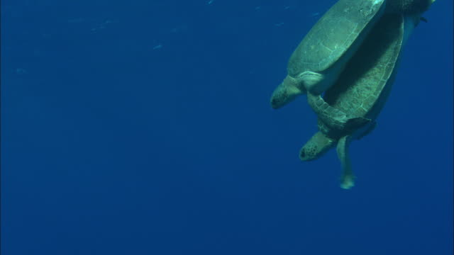 green turtle (chelonia mydas) pair mating, ascension island - green turtle stock videos & royalty-free footage