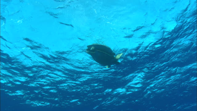 green turtle (chelonia mydas) pair mating, ascension island - green turtle stock videos and b-roll footage