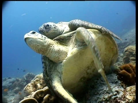 vídeos de stock, filmes e b-roll de cu green turtle pair mating on reef, female waving flipper, ms pair swim to surface, sipadan, borneo, malaysia - organismo aquático
