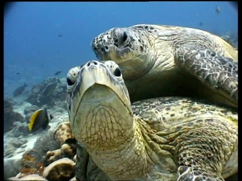 CU Green Turtle pair mating on reef, pan right to male holding female with  flipper claw, Sipadan, Borneo, Malaysia