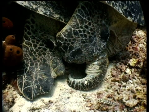 vidéos et rushes de cu green turtle pair mating on reef, rear view, sipadan, borneo, malaysia - organisme aquatique