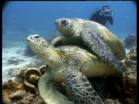 ms green turtle pair mating on reef with diver videographer in background, sipadan, borneo, malaysia - aqualung diving equipment stock videos & royalty-free footage