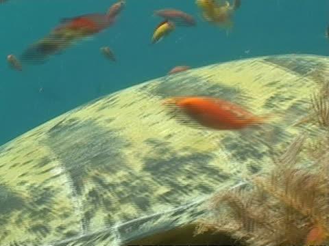 vídeos y material grabado en eventos de stock de cu green turtle resting on reef among small fish, track right, sangalaki, indonesia - patrones de colores