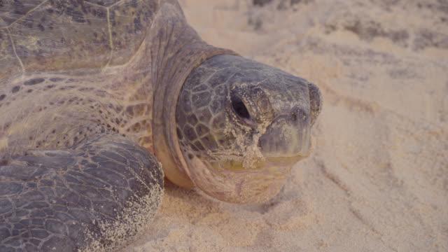 green turtle (chelonia mydas) rests on sandy beach, raine island, australia - green turtle stock videos & royalty-free footage