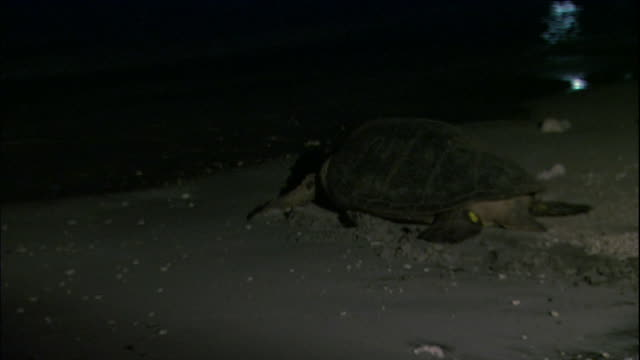 a green turtle returning to the sea. - green turtle stock videos & royalty-free footage