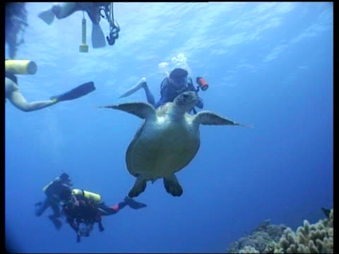 vídeos y material grabado en eventos de stock de ms green turtle rising up from reef, divers appear in background, cu turtle swims upward, patterned shell, layang layang, malaysia - patrones de colores