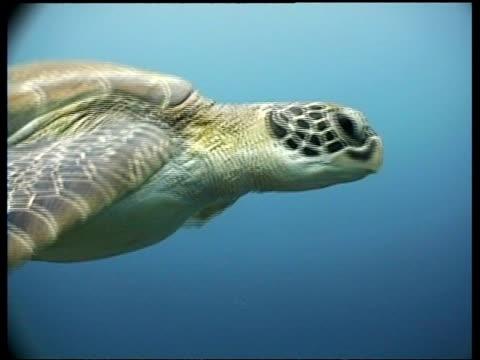 vídeos y material grabado en eventos de stock de cu green turtle, shell detail, ms green turtle swims over reef drop off, high angle, sipadan, borneo, malaysia - patrones de colores