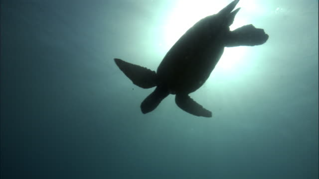 green turtle (chelonia mydas) silhouetted by sun, hawaii  - green turtle stock videos and b-roll footage
