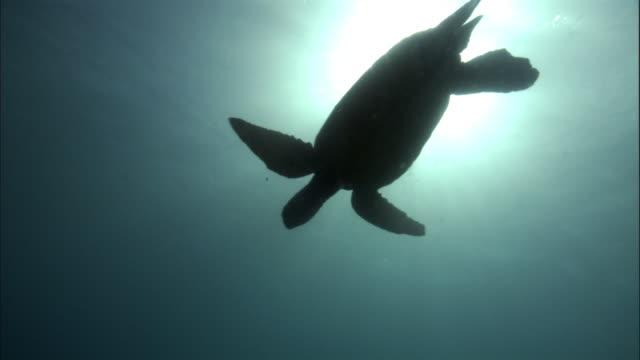 Green turtle (Chelonia mydas) silhouetted by sun, Hawaii