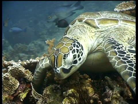 cu green turtle sleeping on reef, ms fish swim past, sipadan, borneo, malaysia - animal colour stock videos & royalty-free footage
