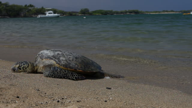 green turtle sunning on tropical beach - resting stock videos & royalty-free footage