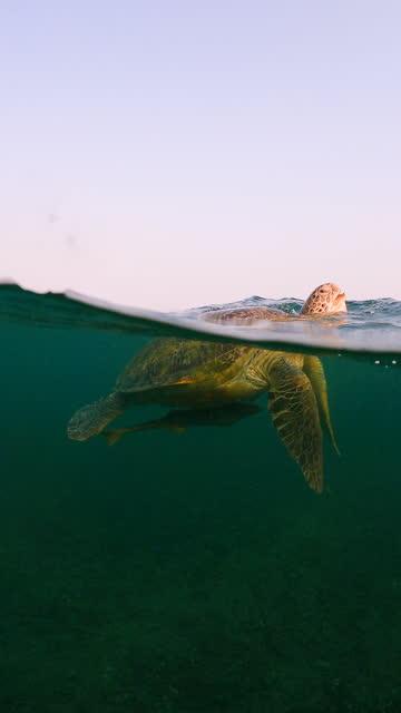 vídeos de stock, filmes e b-roll de tartaruga verde nadar até a superfície do mar e respirar, em seguida, nadar até o mar - baía